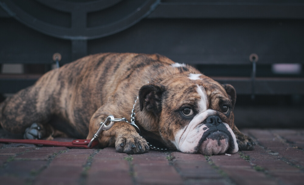 4 Tips to Determine If Your Dog Is Obese